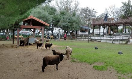 """Em Lisboa, as ovelhas são """"agentes urbanos"""" e vão ajudar na manutenção da infra-estrutura verde"""